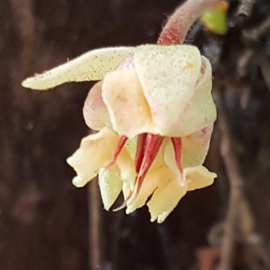 Cacao Blossom